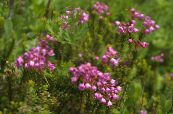 Garden Flowers Mountain Heather, Phyllodoce photo pink