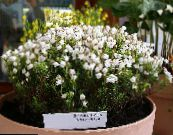 Garden Flowers Mountain Heather, Phyllodoce photo white