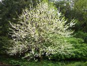 Silverbell, Snowdrop tree,  white