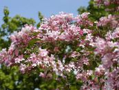 Beauty Bush pink
