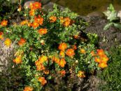 Potentille, Potentille Arbustive orange