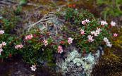 Garden Flowers Trailing azalea, Alpine Azalea, Loiseleuria photo pink