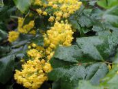 Oregon Grape, Oregon Grape Holly, Holly-leaved Barberry yellow