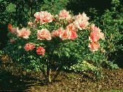 Pivoine D'arbres orange