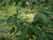 Garden Flowers Hop Tree, Stinking Ash, Wafer Ash, Ptelea trifoliata photo green