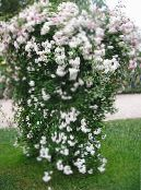 Garden Flowers Rose Rambler, Climbing Rose photo white