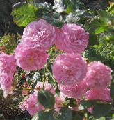 Garden Flowers Rose Rambler, Climbing Rose photo pink