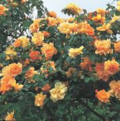 Garden Flowers Rose Rambler, Climbing Rose photo orange