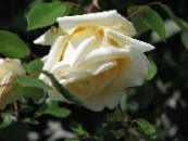 Garden Flowers Rose Rambler, Climbing Rose photo yellow
