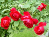 Garden Flowers Rose Rambler, Climbing Rose photo red