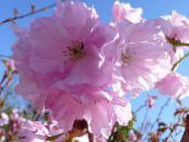 Prunus, plum tree pink