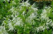 Fringe Tree, Old Man's Beard, Grancy Graybeard