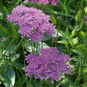 Garden Flowers Pimpinella Anisum photo lilac