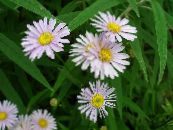 Garden Flowers Bolton's Aster, White Doll's Daisy, False Aster, False Chamomile, Boltonia asteroides photo pink