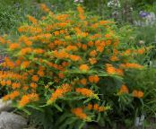 Garden Flowers Butterflyweed, Asclepias tuberosa photo orange
