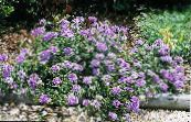 Garden Flowers Verbena photo lilac