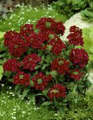 Garden Flowers Verbena photo burgundy