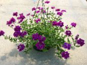 Garden Flowers Verbena photo purple