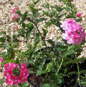Garden Flowers Verbena photo pink