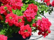 Garden Flowers Verbena photo red
