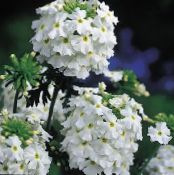 Garden Flowers Verbena photo white