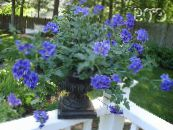 Garden Flowers Verbena photo blue