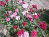 les fleurs du jardin William Doux, Dianthus barbatus photo rose