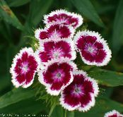 les fleurs du jardin William Doux, Dianthus barbatus photo vineux