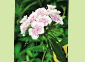 les fleurs du jardin William Doux, Dianthus barbatus photo blanc