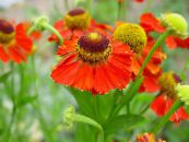 Sneezeweed, Helen's Flower, Dogtooth Daisy red