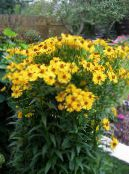 Sneezeweed, Helen's Flower, Dogtooth Daisy, Helenium autumnale photo yellow