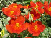 Rock rose red
