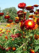 Strawflowers, Paper Daisy red