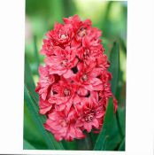 Garden Flowers Dutch Hyacinth, Hyacinthus photo red