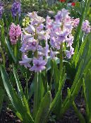 Garden Flowers Dutch Hyacinth, Hyacinthus photo lilac