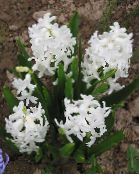 Garden Flowers Dutch Hyacinth, Hyacinthus photo white