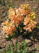 Garden Flowers Dutch Hyacinth, Hyacinthus photo orange