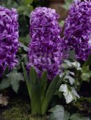 Garden Flowers Dutch Hyacinth, Hyacinthus photo purple