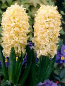 Garden Flowers Dutch Hyacinth, Hyacinthus photo yellow