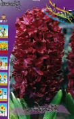 Garden Flowers Dutch Hyacinth, Hyacinthus photo burgundy
