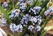 Garden Flowers Hyacinthella pallasiana photo light blue