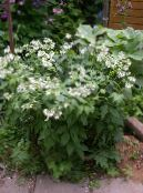 Garden Flowers Virginia Waterleaf, Hydrophyllum virginianum photo white