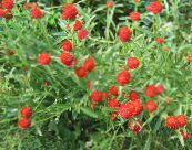 Globe Amaranth red