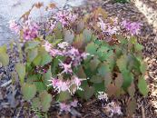 Epimedium Longspur, Barrenwort