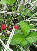 Garden Flowers Indian Strawberry, Mock Strawberry, Duchesnea indica photo red