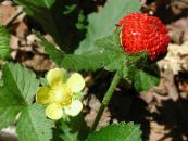 Garden Flowers Indian Strawberry, Mock Strawberry, Duchesnea indica photo yellow