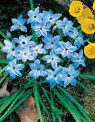 Printemps Starflower bleu ciel