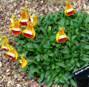 Lady's Slipper, Slipper Flower, Slipperwort, Pocketbook Plant, Pouch Flower, Calceolaria photo orange