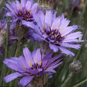Garden Flowers Love Plant, Cupid's Dart, Catananche photo lilac