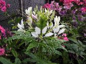 Spider Flower, Spider Legs, Grandfather's Whiskers, Cleome photo white